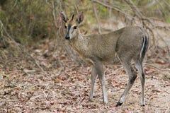 Duiker commun en parc national de Kruger image libre de droits