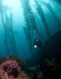 Duiker in de Kelp in Catalina stock afbeelding