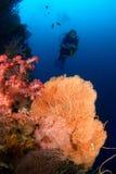 Duiker en Gorgonia koraal Indonesië Sulawesi Stock Afbeeldingen