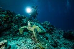 Duiker en groene zeeschildpad in Derawan, Kalimantan, de onderwaterfoto van Indonesië Stock Fotografie