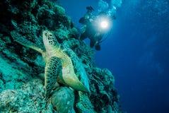 Duiker en groene zeeschildpad in Derawan, Kalimantan, de onderwaterfoto van Indonesië Royalty-vrije Stock Afbeeldingen