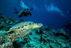 Duiker en groene zeeschildpad in Derawan, Kalimantan, de onderwaterfoto van Indonesië Stock Afbeeldingen