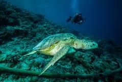 Duiker en groene zeeschildpad in Derawan, Kalimantan, de onderwaterfoto van Indonesië Royalty-vrije Stock Foto