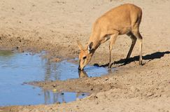 Duiker female - Wildlife from Africa - Rare Species of the Wild. A Common Duiker female as seen drinking water at a watering hole on a game ranch in Namibia Royalty Free Stock Photo