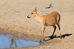 Duiker female - Wildlife from Africa - Stare of Beauty, Peace and Innocence Royalty Free Stock Photography