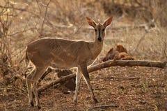 Duiker femminile comune che sta nella prateria sudafricana Immagini Stock