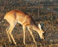 Duiker in het Nationale Park Kruger Royalty-vrije Stock Afbeelding