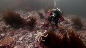 Duiker het spelen met koningskrabben onderwater op zeebedding van Kamchatka stock footage