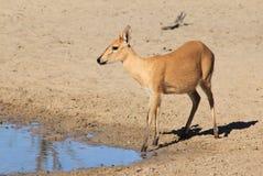 Duiker kobieta gapienie piękno, pokój i niewinność, - przyroda od Afryka - Fotografia Royalty Free