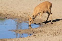 Duiker kobieta Rzadcy gatunki Dziki - przyroda od Afryka - Zdjęcie Royalty Free