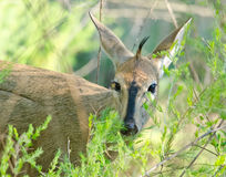 Duiker peering out of bush Royalty Free Stock Photography