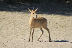 Duiker Ram - Wildlife from Africa - Rare Species of the Wild Royalty Free Stock Photos