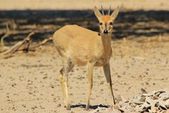 Duiker Ram - Wildlife Background from Africa - Cute little antelope Stock Photos