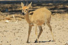 Duiker Ram - Wildlife Background from Africa - Funny Nature and Hungry stomach Stock Images