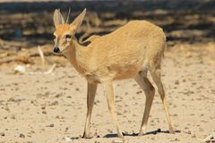 Duiker Ram - Wildlife Background from Africa - Lovely Innocence Royalty Free Stock Images