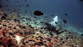 Duiker in school van vissen onderwater op achtergrond van verbazende zeebedding in de Maldiven stock videobeelden