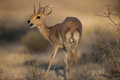 Duiker. A small duiker in the morning light Royalty Free Stock Image