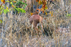 Duiker (South Africa) Royalty Free Stock Photography
