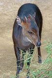 Duiker Royalty Free Stock Photo