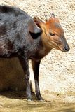 Duiker Royalty Free Stock Photos