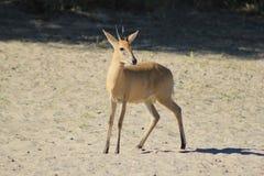 DuikerRAM - djurliv från Afrika - sällsynt art av det löst Royaltyfria Foton