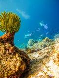 Duikers bij de koralen Royalty-vrije Stock Afbeeldingen