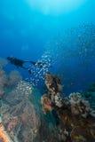 Duikers en het aquatische leven in het Rode Overzees stock afbeelding