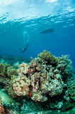 Duikers, het koraal van het paddestoelleer in Banda, de onderwaterfoto van Indonesië Royalty-vrije Stock Afbeeldingen