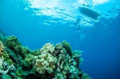 Duikers, het koraal van het paddestoelleer in Banda, de onderwaterfoto van Indonesië Stock Fotografie