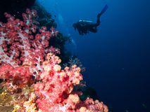 Duikers op muur van zacht-koraal stock fotografie