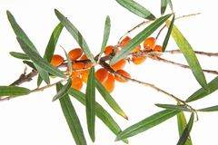 Duindoorn (rhamnoides Hippophae) Royalty-vrije Stock Fotografie