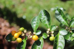 Duindoornfruit Stock Fotografie