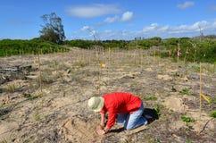 Duinrestauratie in Gouden Kust Queensland Australië Royalty-vrije Stock Foto