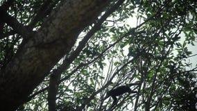 Duistere bladaap die op een boom springen Eet het banaan wilde leven stock videobeelden
