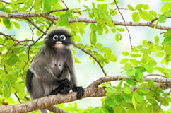 Duistere bladaap of Trachypithecus-obscurus op boom royalty-vrije stock foto