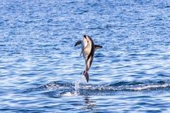 Duistere dolfijn die uit water springen stock afbeelding
