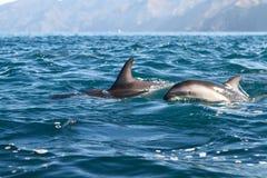 Duistere dolfijnen stock afbeeldingen