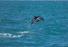 Duistere obscurus die van dolfijnlagenorhynchus uit het water dichtbij Kaikoura, Nieuw Zeeland springen royalty-vrije stock afbeeldingen