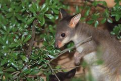 Duistere wallaby Stock Afbeelding