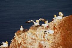 Duits eiland Helgoland - noordelijke jan-van-gent Royalty-vrije Stock Afbeelding