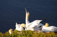 Duits eiland Helgoland - noordelijke jan-van-gent Stock Fotografie