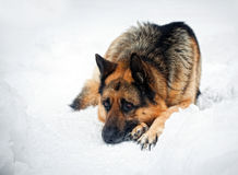 Duitse herder Stock Foto