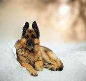 Duitse herder Stock Fotografie