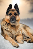 Duitse herder Royalty-vrije Stock Afbeelding