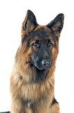 Duitse herder Stock Afbeelding