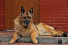 Duitse herder royalty-vrije stock foto's