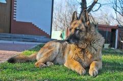 Duitse herder royalty-vrije stock foto