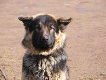 Duitse herder Stock Foto's