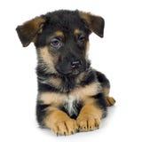 Duitse herder (7 weken)/Elzassisch, politiehond Stock Fotografie
