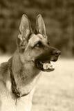Duitse herder stock afbeeldingen